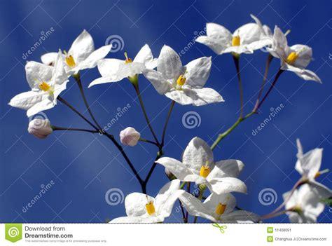 fiori a forma di stella fiori bianchi a forma di stella immagine stock immagine