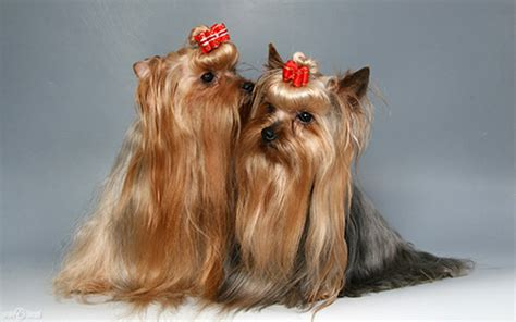 history of yorkies unfold the history of terrier