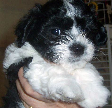 pictures of havanese puppies black and white havanese puppy www pixshark images galleries with a bite