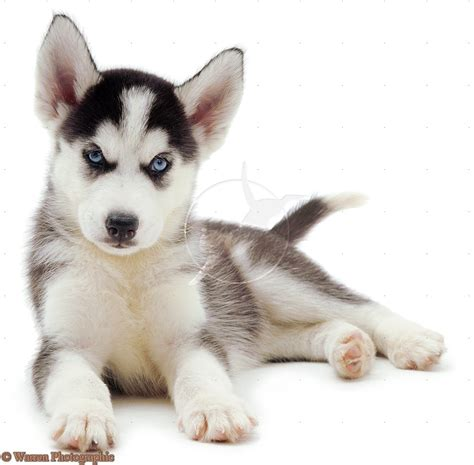 white husky puppy puppy dogs white siberian husky puppies