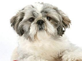 shih tzu spine problems back problems can be deadly for smaller dogs express yourself comment express co uk