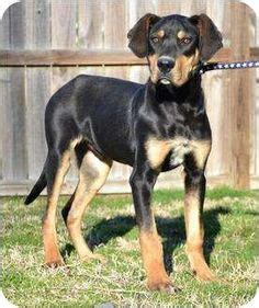 great dane and rottweiler mix the world s catalog of ideas