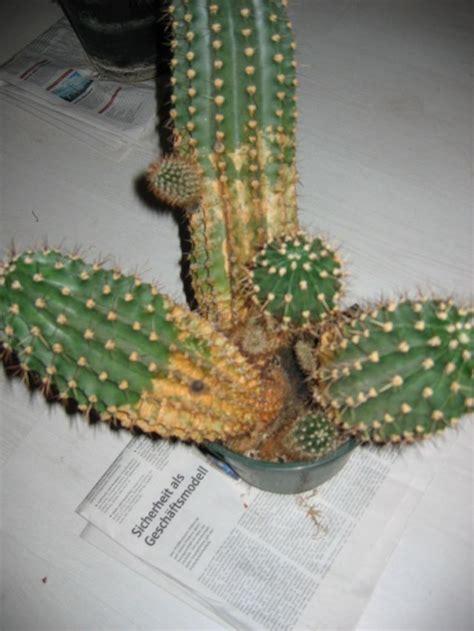 wann sterben legionellen ab bitte hilfe bei kaktus pflege haus garten forum