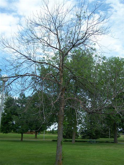 trees ottawa emerald ash borer tree treatment ottawa tree expert ontario
