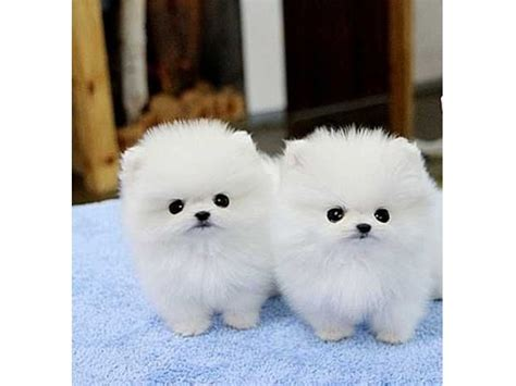 pomeranian puppies for sale in arizona amazing platinum micro white pomeranian puppies animals tucson arizona