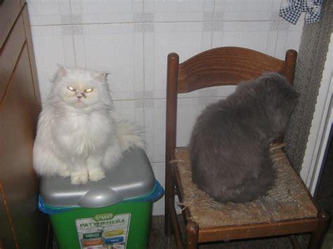foto di gatti persiani coppia di gatti persiani petpassion