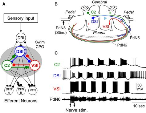 central pattern generator spinal neurons recruitment of polysynaptic connections underlies
