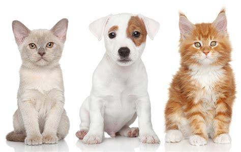 cat puppy burmese terrier maine coon kitten puppy cat wallpaper 4200x2658