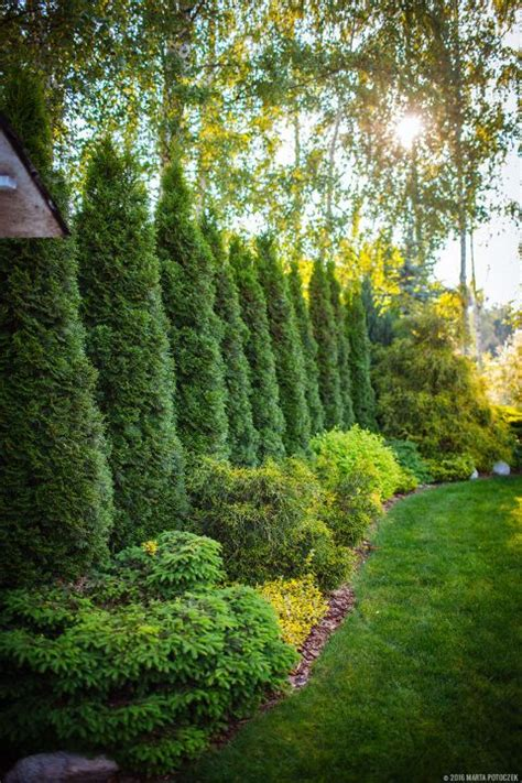 Privacy Trees For Backyard by Best 25 Privacy Landscaping Ideas On Privacy