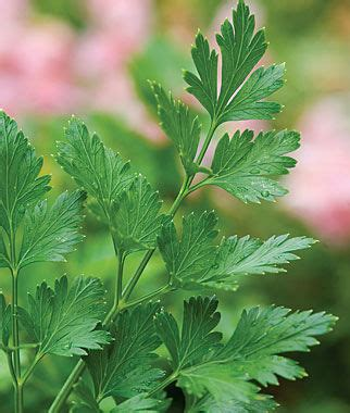 herb garden plants parsley plain organic seeds and plants growing herb