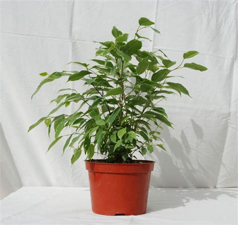 tropical foliage indoor plants foothill tropicals inc indoor tropical house plants