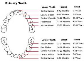 ages when baby teeth come in and fall out baby teething order of appearance teething chart orajel