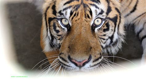 wallpaper harimau hitam gambar binatang menyusui adidas bertulang belakang kepala