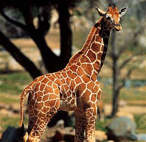 imagenes de jirafas salvajes im 225 genes del mundo animal jirafa