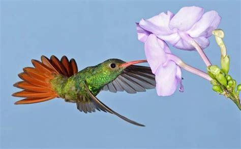 colorful hummingbirds colorful hummingbird photos www pixshark images