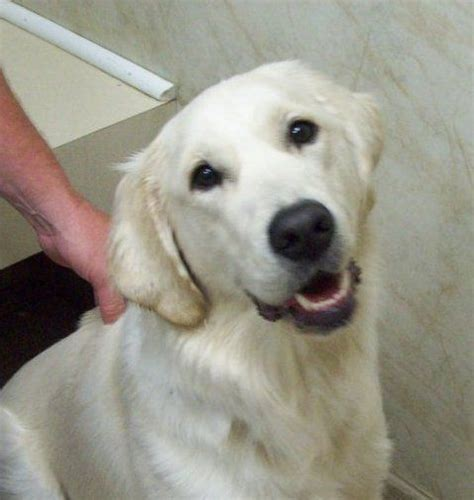white golden retriever puppies bc 421 best golden retriever images on adorable animals fluffy pets