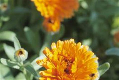 Arden S Garden Detox Near Me by What Eats Marigolds In The Garden Garden Ftempo