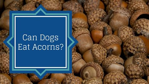 can dogs eat acorns are acorns dangerous to dogs smart owners