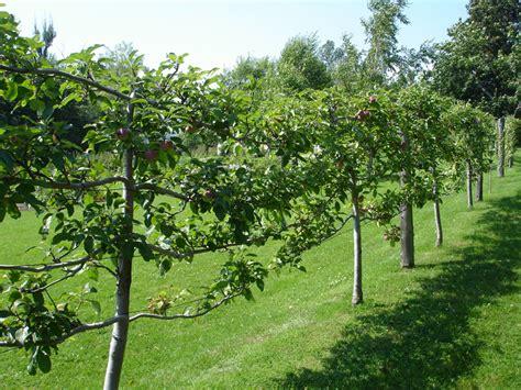 how to grow espalier fruit trees