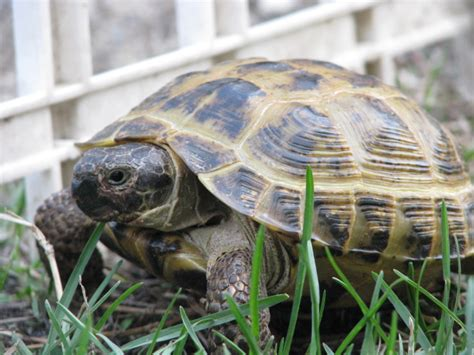 russian tortoises russian tortoise agrionemys horsfieldii special shell