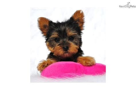 yorkie puppies for sale in jackson ms terrier yorkie puppy for sale near jackson mississippi 33749984 a171