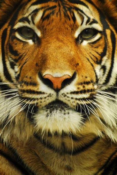 beautiful tiger beautiful tiger animales