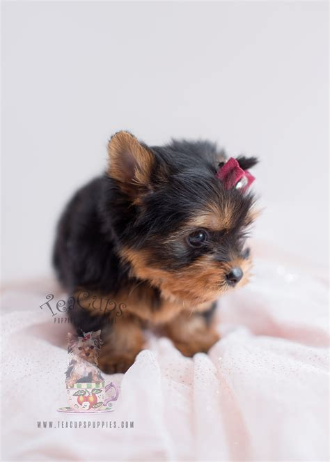 yorkie breeders in south florida yorkie puppies for sale south florida teacups puppies boutique