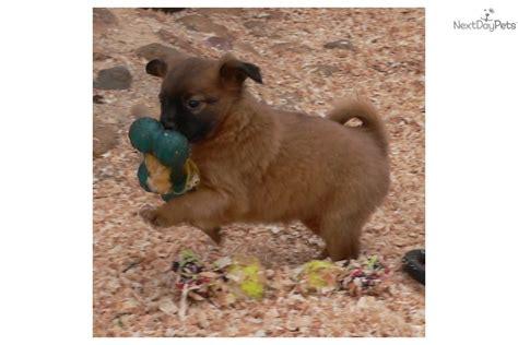 pomeranian puppies for sale in redding ca pomchi puppy for sale near redding california 81968c12 c101