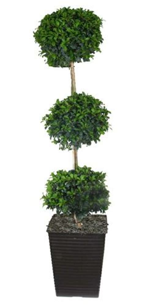 topiary care how to care for a eugenia topiary