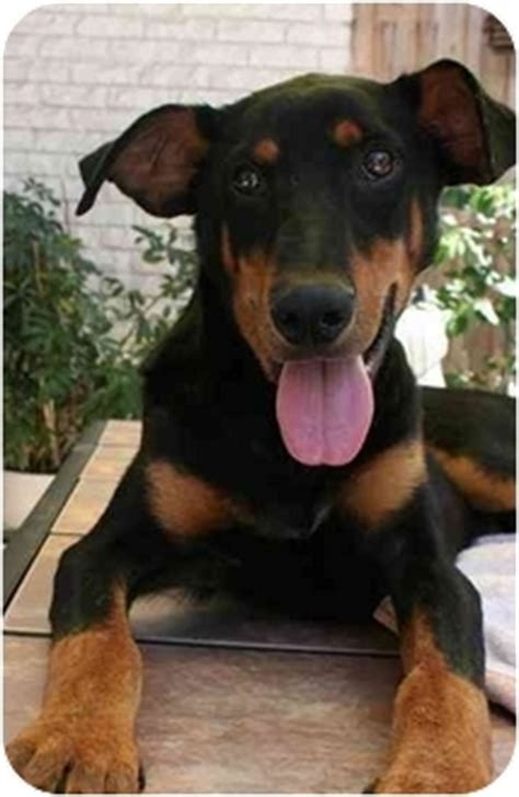 rottweiler rescue new orleans colt adopted puppy new orleans la doberman pinscher