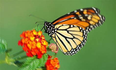 significato dei fiori nei sogni farfalla farfalle interpretazione dei sogni romoletto