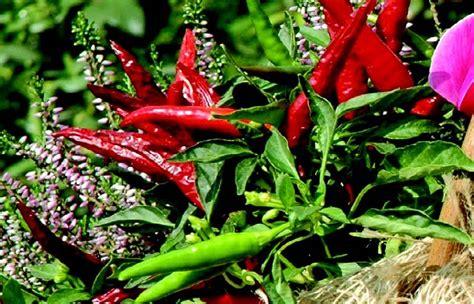 semina peperoncino in vaso come coltivare il peperoncino