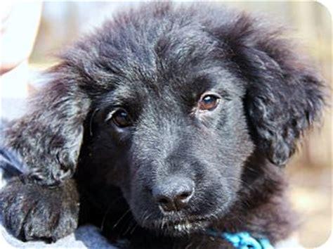 golden retriever adoption chicago clementine adopted puppy chicago il golden retriever newfoundland mix