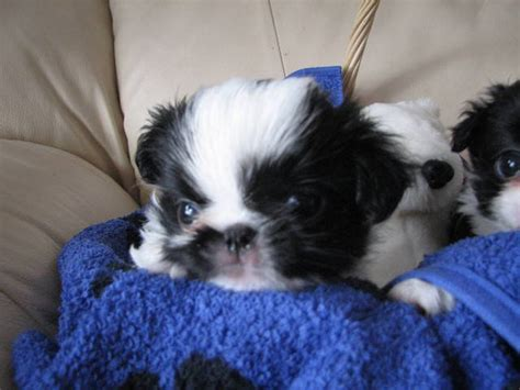 japanese chin puppies for adoption ckc registered japanese chin puppies for sale adoption from swalwell alberta kneehill
