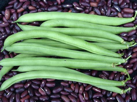 provider bush snap bean   southern exposure seed