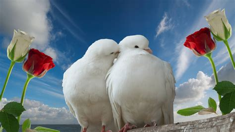 wallpaper couple with rose full hd wallpaper cuople rose wedding dove romantic kiss
