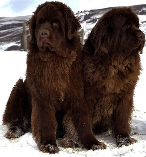 newfoundland dogs newfoundland all big breeds