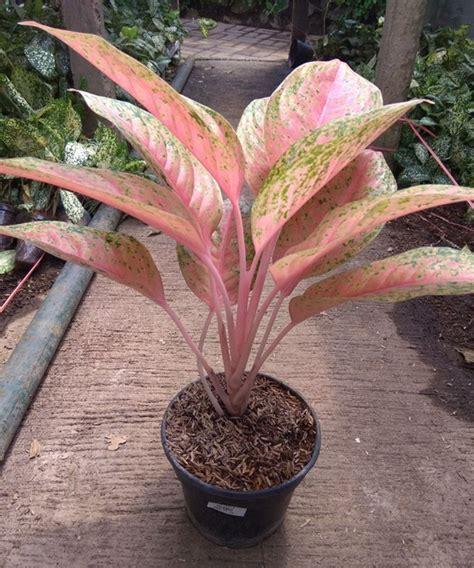 tanaman hias aglonema lipstic tanaman aglaonema pink bibitbunga