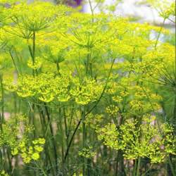 Annual Flowers That Like Full Sun - fennel seeds florence fennel herb seed