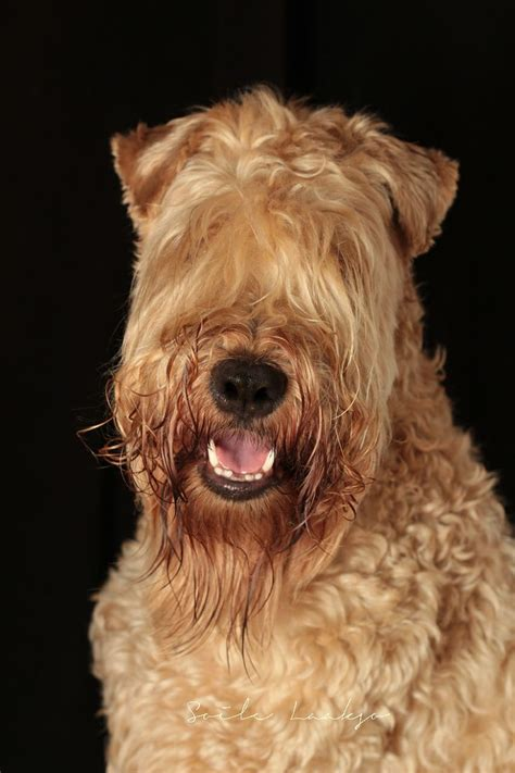 Wheaten Terrier Shedding by 1000 Images About Our Story The Soft Coated Wheaten