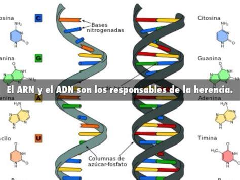 cadenas adn y arn informaci 243 n de adn y arn cuadros comparativos y cuadros