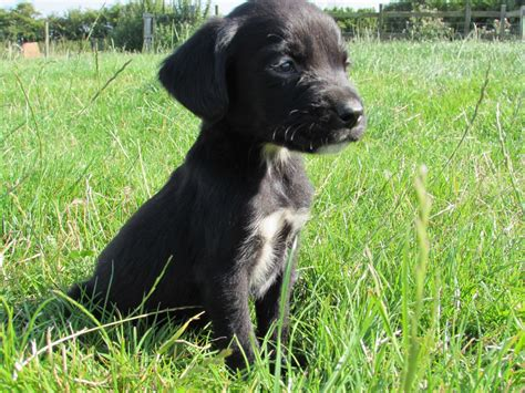 springador puppies beautiful black springador puppies boston lincolnshire pets4homes