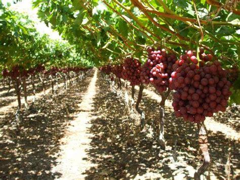 Jual Bibit Markisa Merah teknik budidaya pohon anggur agar berbuah lebat pt