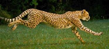 Jaguars Running Mahavir Difference Between Cheetah Leopard And Jaguar