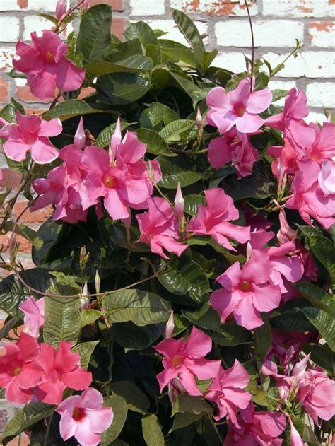 easy indoor tropicals plants flowering vines