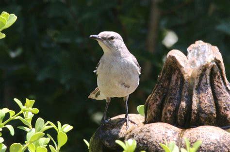 mimus polyglottos the northern mockingbird