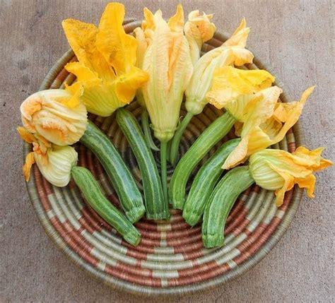 coltivare le zucchine in vaso coltivare zucchine in vaso coltivare orto