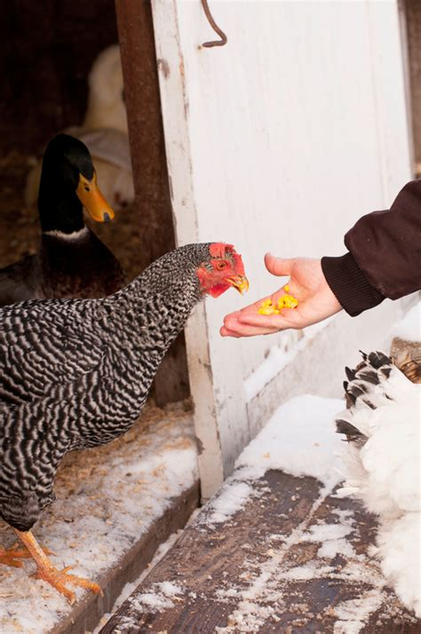 Backyard Chickens In Winter 6 Tips For Raising Chickens In Winter Backyard Poultry