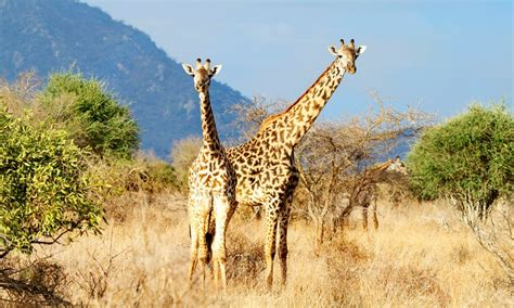 kenya safari with airfare from indus travels in lake nakuru national park groupon getaways