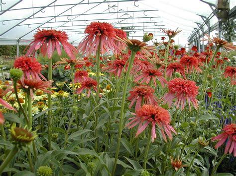 roter fächerahorn kaufen echinacea sorten rudbeckia purpurea echiniacea echinacea